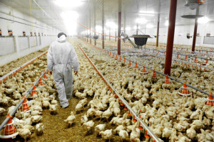 Indifference - Poultry Farm And A Veterinary